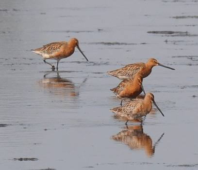 Asiatic-Dowitcher-Taiwan-2012-tour