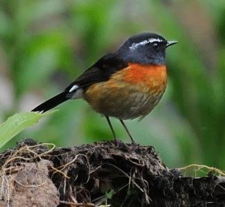 Collared-Bush-robin-2012 tour