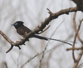 Japanese-Paradise-flycatcher-1