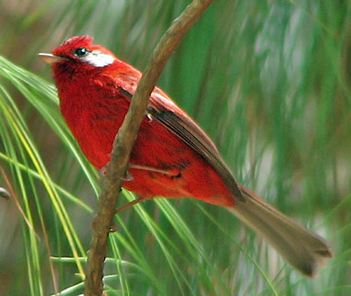 Red-Warbler-by-Paul-Cozza