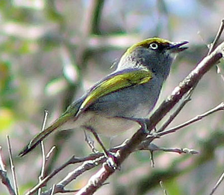 Slaty-Vireo-by-Paul-Cozza