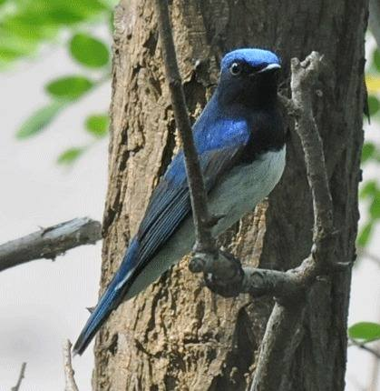 Blue-and-white-Flycatcher
