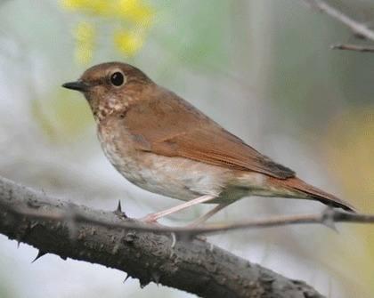 Rufous-tailed-Robin-1