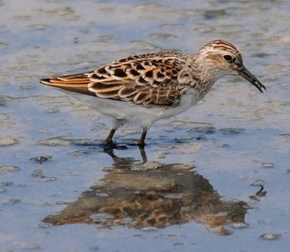 Long-toed-Stint-SE-China-2012