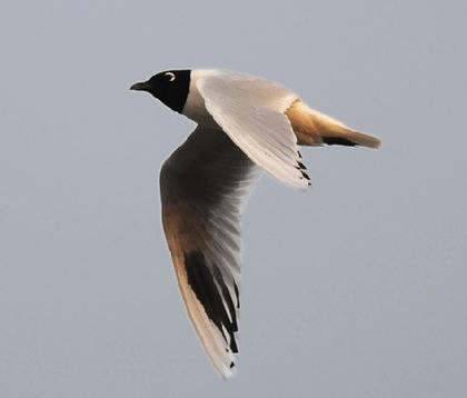 saunder's gull