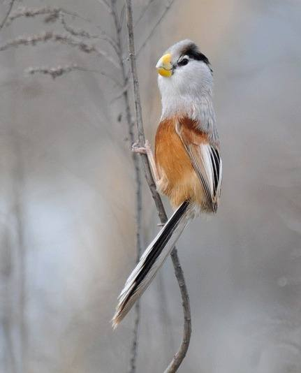Reed-Parrotbill-by Nick Bray