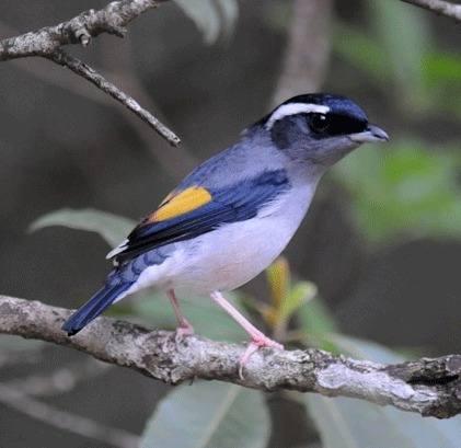 Blyths-Shrike-babbler-(male)-1