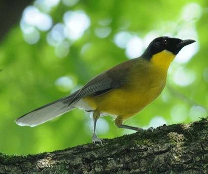 Courtoiss-Laughingthrush 2012 China tour
