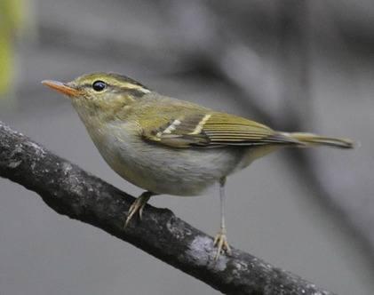 Harterts-Leaf-warbler
