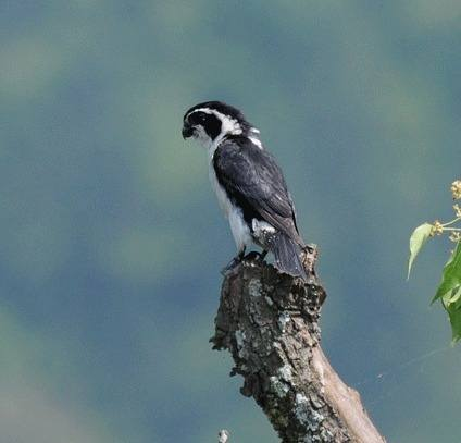 Pied-Falconet-China 2012