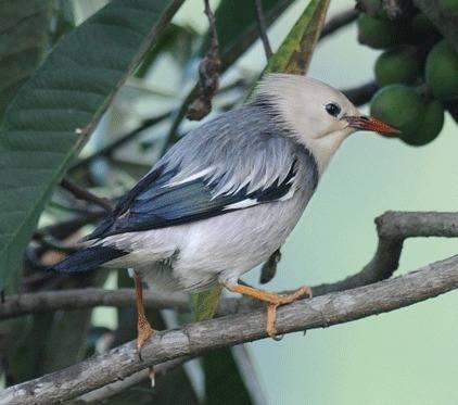 Red-billed-Starling