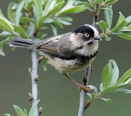 Black-browed-tit-3