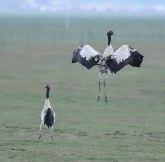 Black-necked-Crane-7