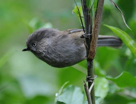 Grey-hooded-Fulvetta-Sichuan 2012