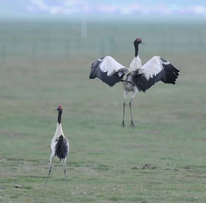 Black-necked-Crane- Sichuan 2012