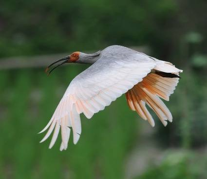 Crested-Ibis-2012