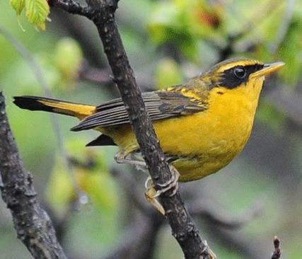 Golden Bush-Robin