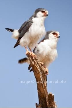 African Pygmy Falcon - Tanzania