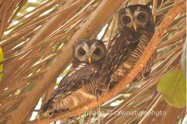 African Wood Owl - Tanzania