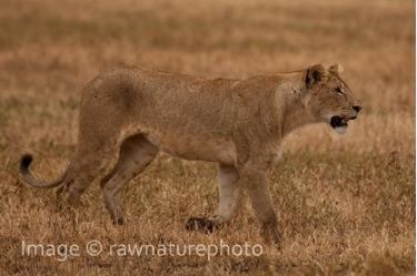 Lioness - Tanzania