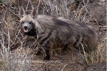 Striped Hyena - Tanzania