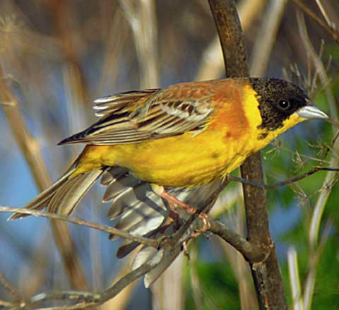 Black-headed Bunting by Mike Lockyear
