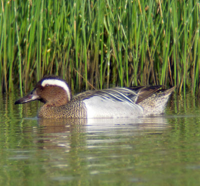 Garganey by Mike Lockyear