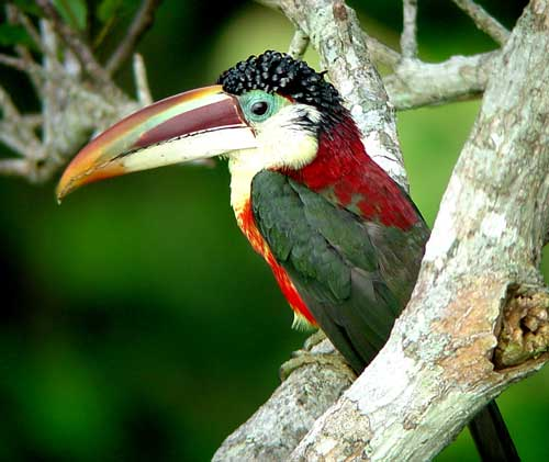 Curl-crested-Aracari by Will Carter