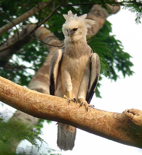 Harpy-Eagle-by-Will-Carter