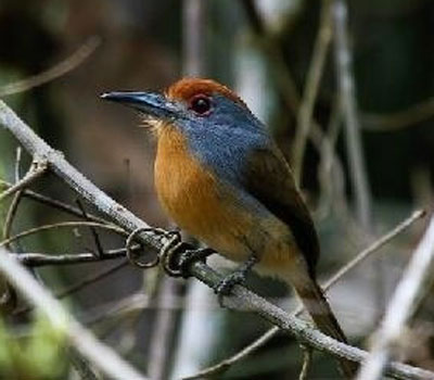 Rufous-capped-Nunlet by Will Carter