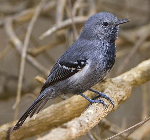 Slender-Antbird by Ciro Albano