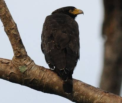 Andaman-Serpent-eagle-2