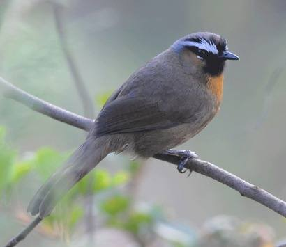 Black-chinned-Laughingthrush-A