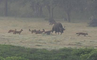 Dhole - S India 2012