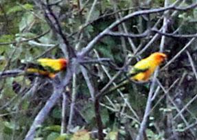 Sun-Parakeet-by-Steve-Bird