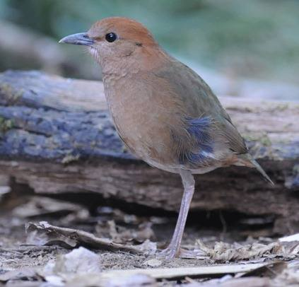 Rusty-naped-Pitta-copyright Nick Bray