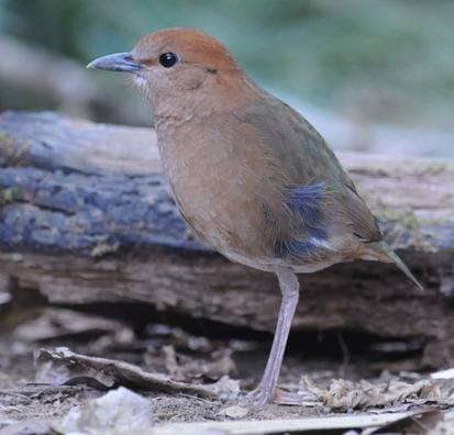 Rusty-naped Pitta - Thailand 2013 tour