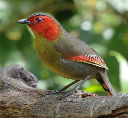 Scarlet-faced-Liocichla-Thailand 2013 Tour