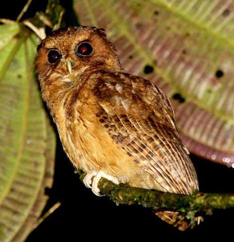 Cinnamon-Screech-Owl-by-Roger Alhman