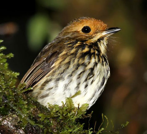 Ochre-fronted-Antpitta-by-Roger Alhman