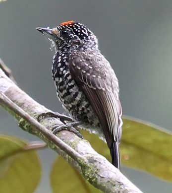 Speckle-chested-Piculet-by-Roger Alhman