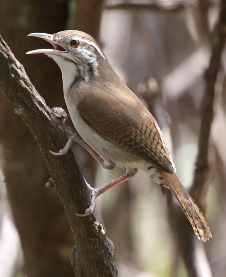 Antioquia-Wren by Steve Bird