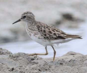Long-toed-Stint - Thailand 2013