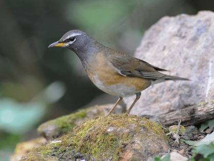 Eye-browed-Thrush-Thailand 2013