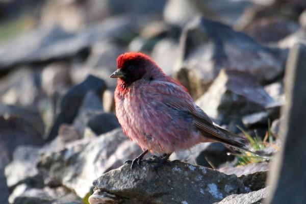 Tibetan Rosefinch