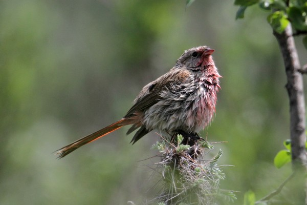 Pink-tailed Finch