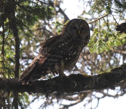 Pere Davids Owl 3 Sichuan 2013 Tour