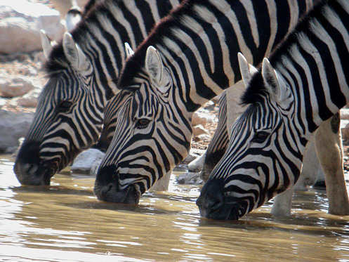 Zebras at Etosha copyright Brian Pink