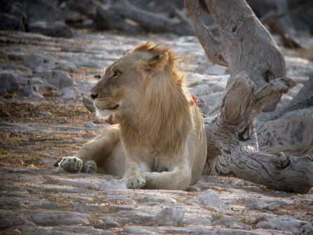 Lion at Etosha copyright Brian Pink