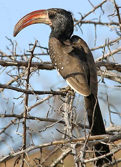 Monteiro Hornbill